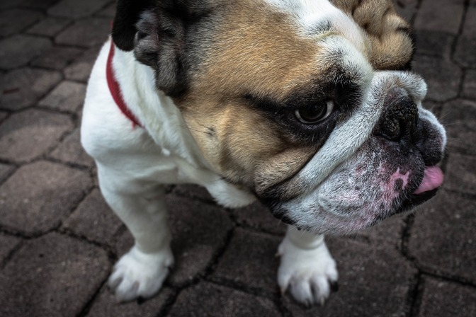 Petition To Jail Men Who Abused Bulldog In Graphic Video Goes Online